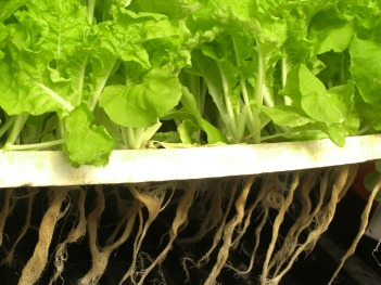 Plants being grown with hydroponics