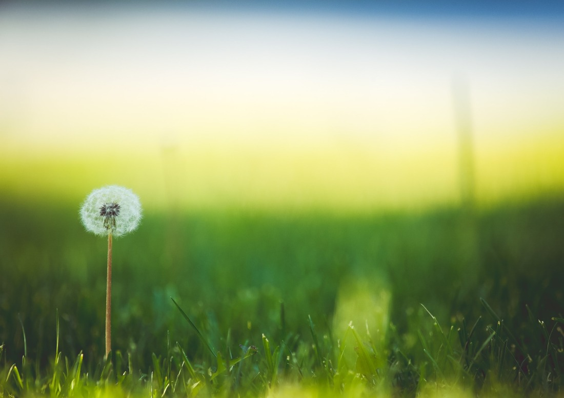 Dandelion in grass lawn